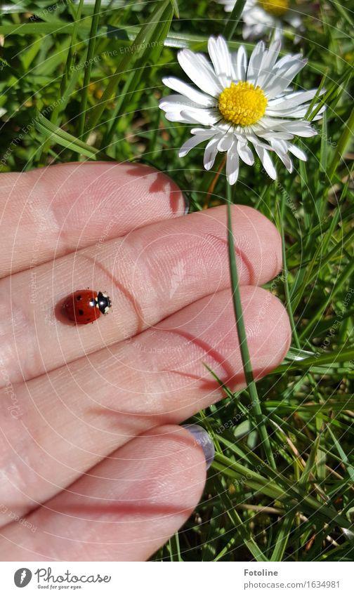 Ab in die Freiheit! Mensch Hand Finger Umwelt Natur Pflanze Tier Blume Gras Blüte Garten Park Wiese Käfer 1 frei natürlich gelb grün rot weiß Marienkäfer