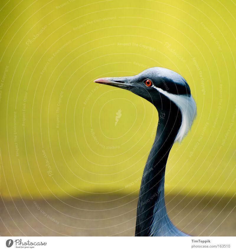 Schräger Vogel Natur schön weiß schwarz Tier gelb elegant Umwelt ästhetisch stehen Tiergesicht dünn natürlich Zoo Hals