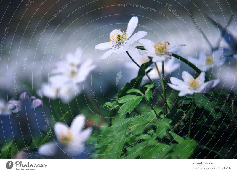 Buschwindröschen Natur weiß grün schön Pflanze Blume Erholung Umwelt Landschaft Frühling klein Blüte Park wandern Wachstum Fröhlichkeit