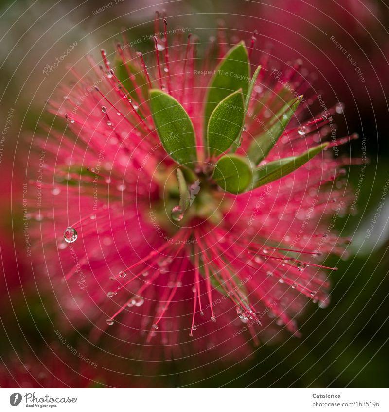 Roter Zylinderputzer Natur Pflanze Wasser Wassertropfen Regen Blume Blatt Blüte Park Blühend verblüht Wachstum ästhetisch glänzend nass natürlich grün rot Armut