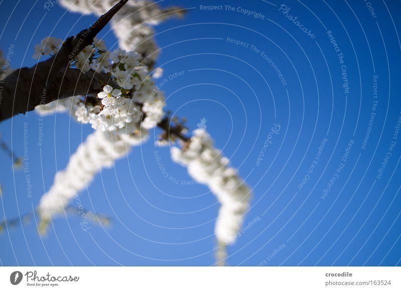 Apfelblüte Natur Himmel weiß Baum blau Pflanze Freude Blüte Frühling Park Umwelt Frühlingsgefühle Nutzpflanze Wolkenloser Himmel