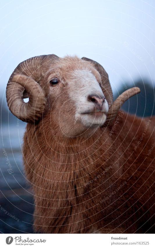 Schafskopf Natur Winter ruhig Tier träumen braun elegant ästhetisch authentisch Vertrauen Fell Gelassenheit stark Freundlichkeit führen Wachsamkeit