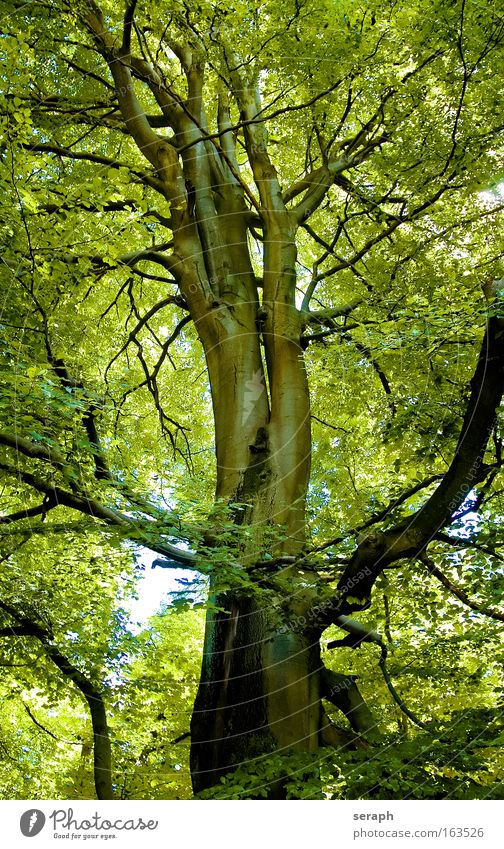 Grüne Lunge Natur alt Baum grün Pflanze Biologie ruhig Blatt Wald Erholung Holz träumen Landschaft Umwelt groß hoch