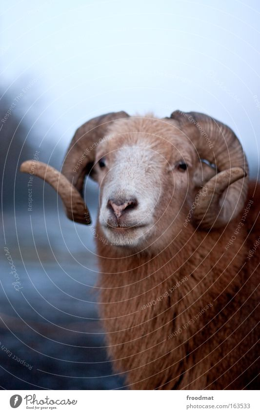 modelschaf Natur alt blau Winter Tier ruhig braun Kraft authentisch bedrohlich Kommunizieren Neugier Fell stark Schaf Horn