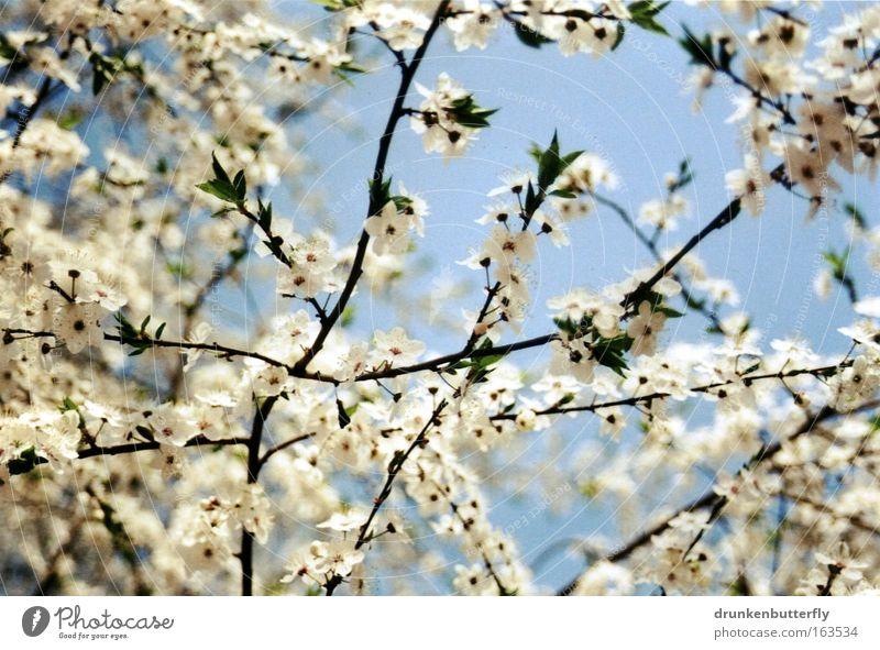 Blütennetz Farbfoto Außenaufnahme Tag Licht Sonnenlicht Froschperspektive Natur Landschaft Luft Himmel Wolkenloser Himmel Frühling Schönes Wetter Pflanze Baum