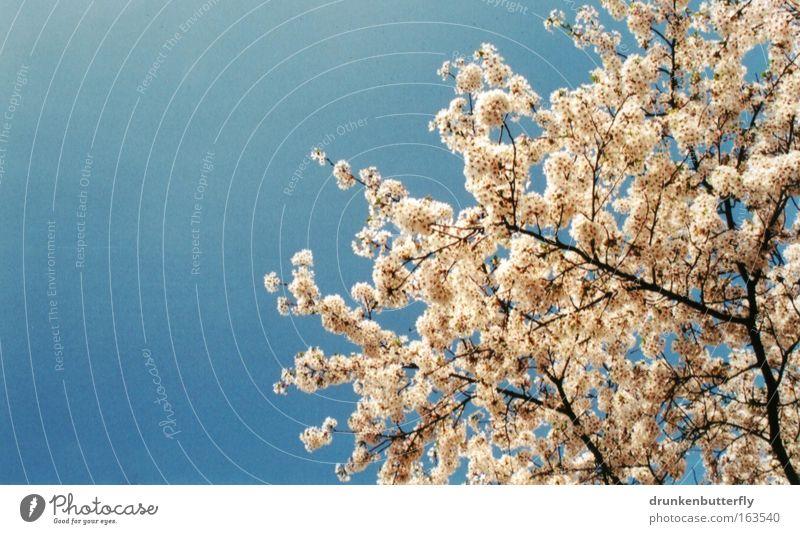 Blütenzauber I Farbfoto Außenaufnahme Strukturen & Formen Textfreiraum links Tag Licht Natur Landschaft Pflanze Luft Himmel Wolkenloser Himmel Frühling