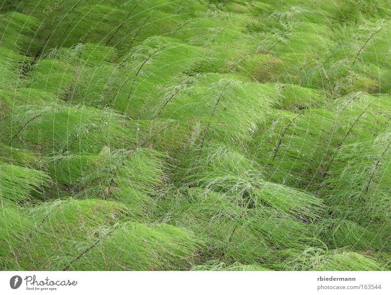 Schachtelhalm Natur grün Pflanze Sommer Einsamkeit Zufriedenheit ästhetisch weich natürlich Leichtigkeit Wildpflanze