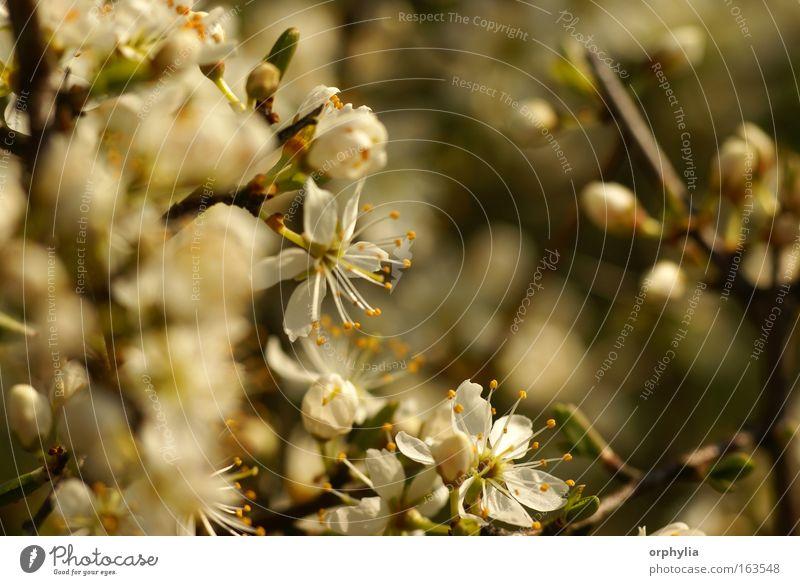 Schlehdorn-Blüte Farbfoto Makroaufnahme Menschenleer Tag Schwache Tiefenschärfe Zentralperspektive Natur Pflanze Frühling Baum Sträucher Nutzpflanze Wildpflanze
