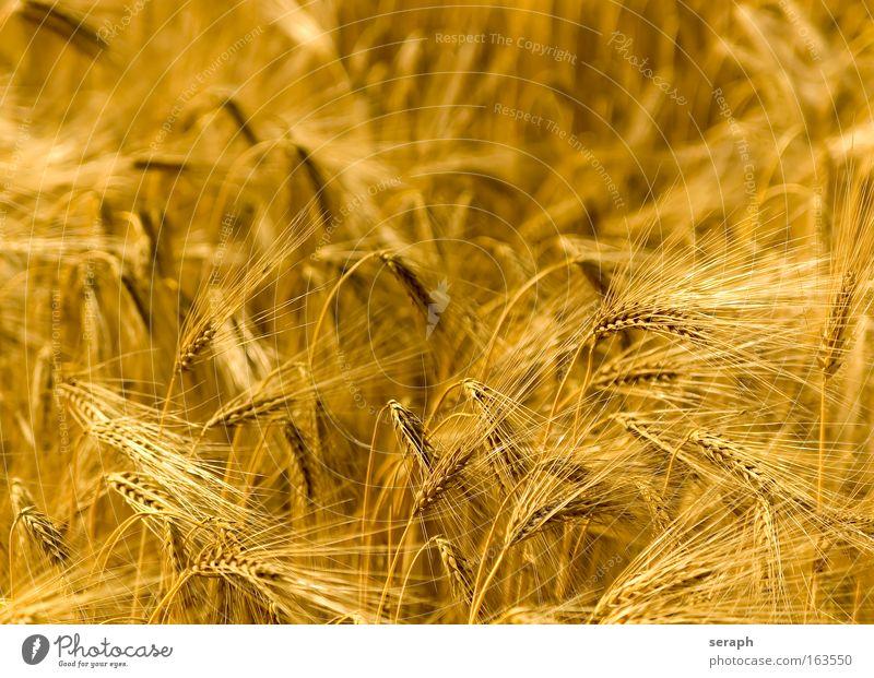 Golden Fields Pflanze Umwelt Gras Getreide Wachstum Idylle ökologisch Ackerbau Grasland Umweltschutz Weizen Futter Vegetarische Ernährung Roggen Müsli