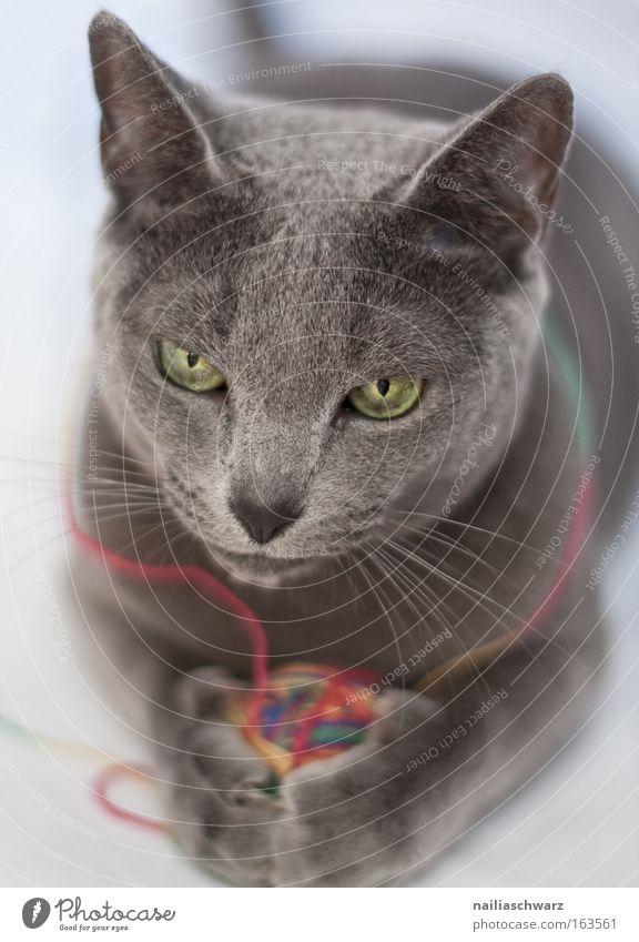Miezekatze Tier Haustier Katze Tiergesicht Fell Krallen Pfote 1 Spielen Russisch Blau Farbfoto Innenaufnahme Nahaufnahme Schwache Tiefenschärfe Tierporträt