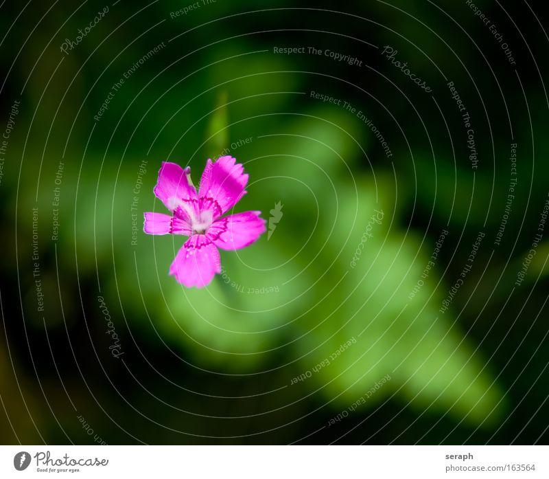 Blümchen Natur Blume Pflanze Sommer Gras klein rosa Umwelt Wachstum Blühend Botanik pflanzlich geblümt Heilpflanzen Unkraut