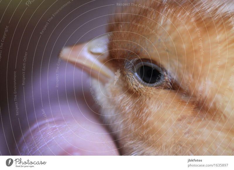 Blick Natur Hand Tier Tierjunges Umwelt Glück Lebensmittel Vogel Zufriedenheit Ernährung Fröhlichkeit Lebensfreude Haustier Frühlingsgefühle Nutztier Küken