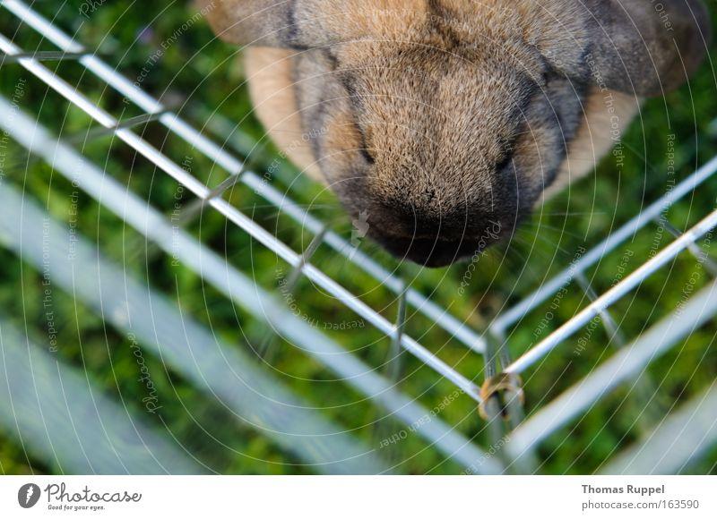 Gefangen grün Tier Wiese Gras Kopf Traurigkeit braun sitzen Sicherheit Schutz Fell gefangen Hase & Kaninchen Haustier Schnauze