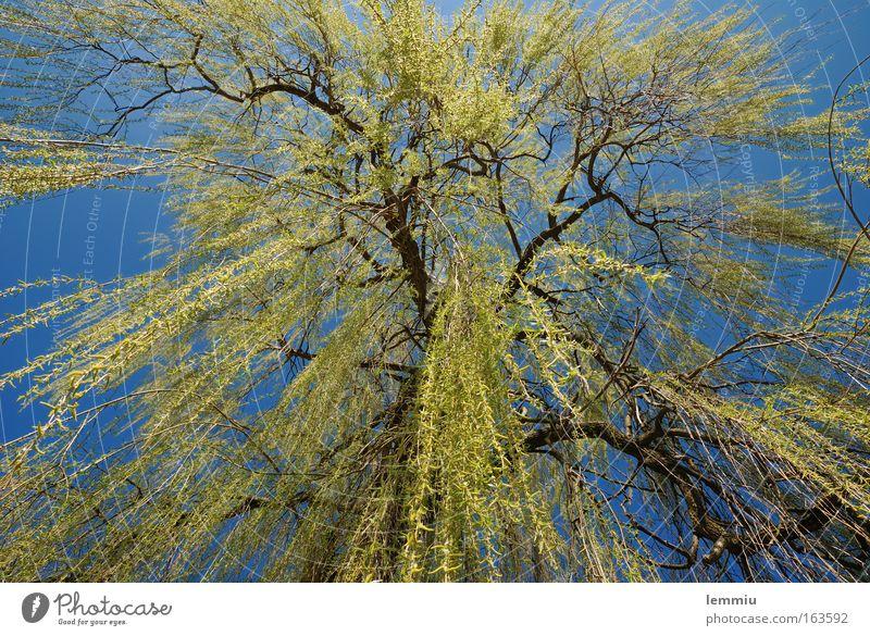 Trauerweide Natur Himmel Baum grün blau Pflanze Blatt Wiese Frühling ästhetisch fallen Ast Schönes Wetter bizarr Wolkenloser Himmel