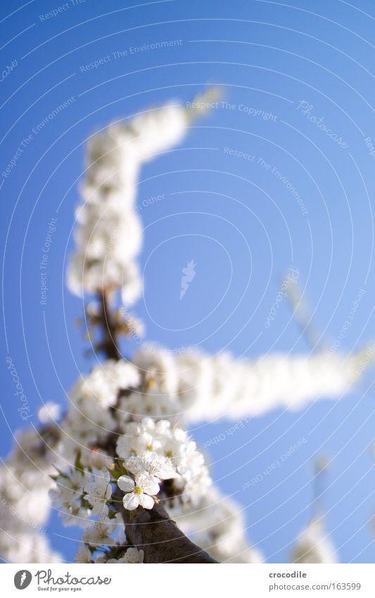 Apfelblüte III Farbfoto mehrfarbig Außenaufnahme Nahaufnahme Detailaufnahme Makroaufnahme Textfreiraum rechts Tag Licht Schatten Kontrast Sonnenlicht Unschärfe