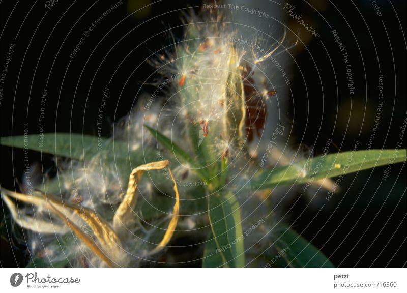 Aufgeplatzt weich grün Blatt Aufgeplatzte Samen vertrocknet