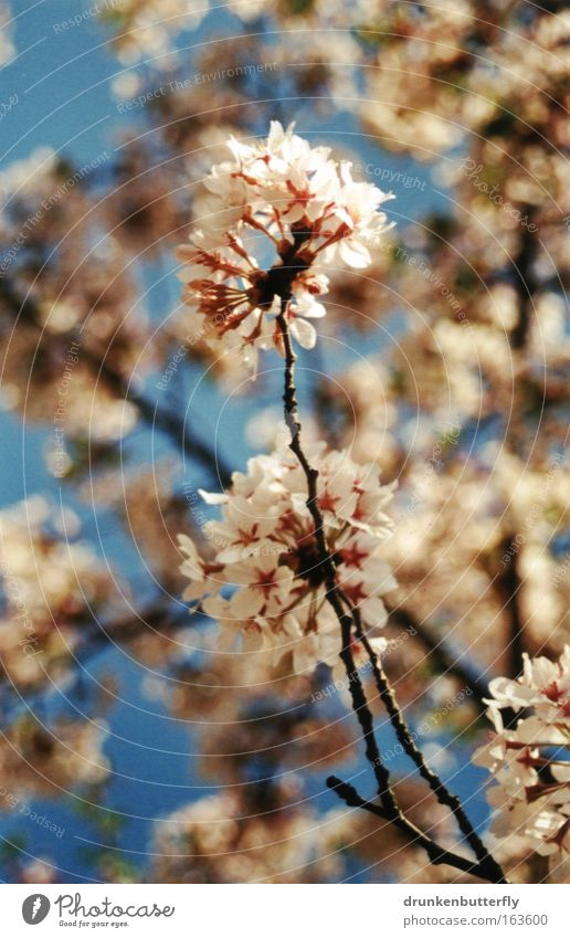 Blütenzauber II Himmel Natur blau weiß grün Pflanze schwarz Umwelt Frühling braun Wachstum Wandel & Veränderung Vergänglichkeit Wolkenloser Himmel