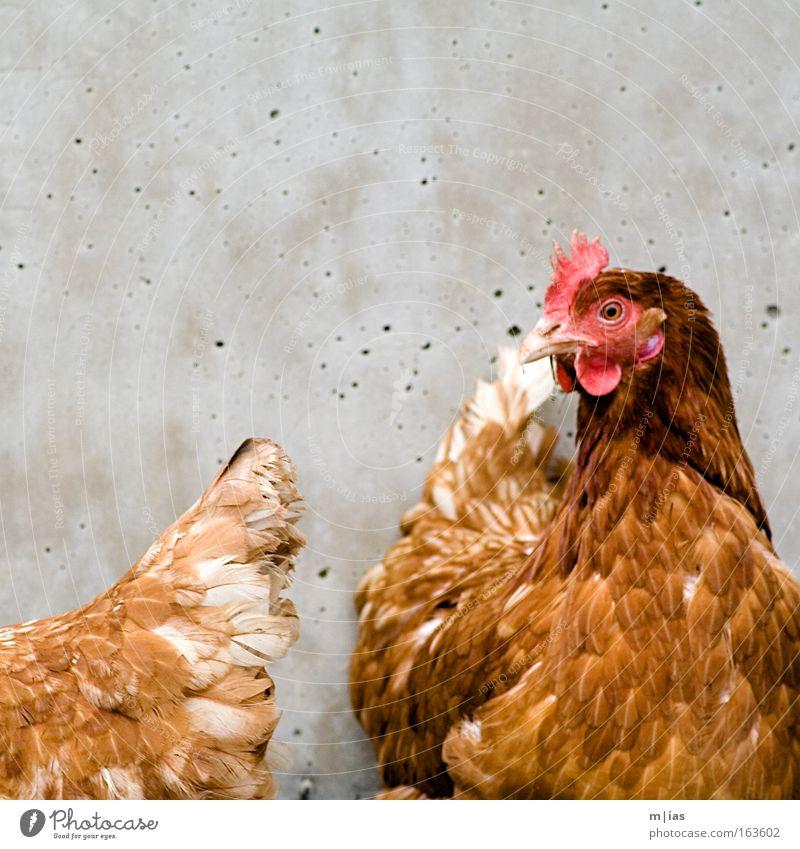 ...auf den Arsch geschaut Ferien & Urlaub & Reisen Tier Wand Lebensmittel braun Beton Feder Bauernhof Bioprodukte ökologisch Haustier Umweltschutz Haushuhn Biologische Landwirtschaft Nutztier Landwirtschaft