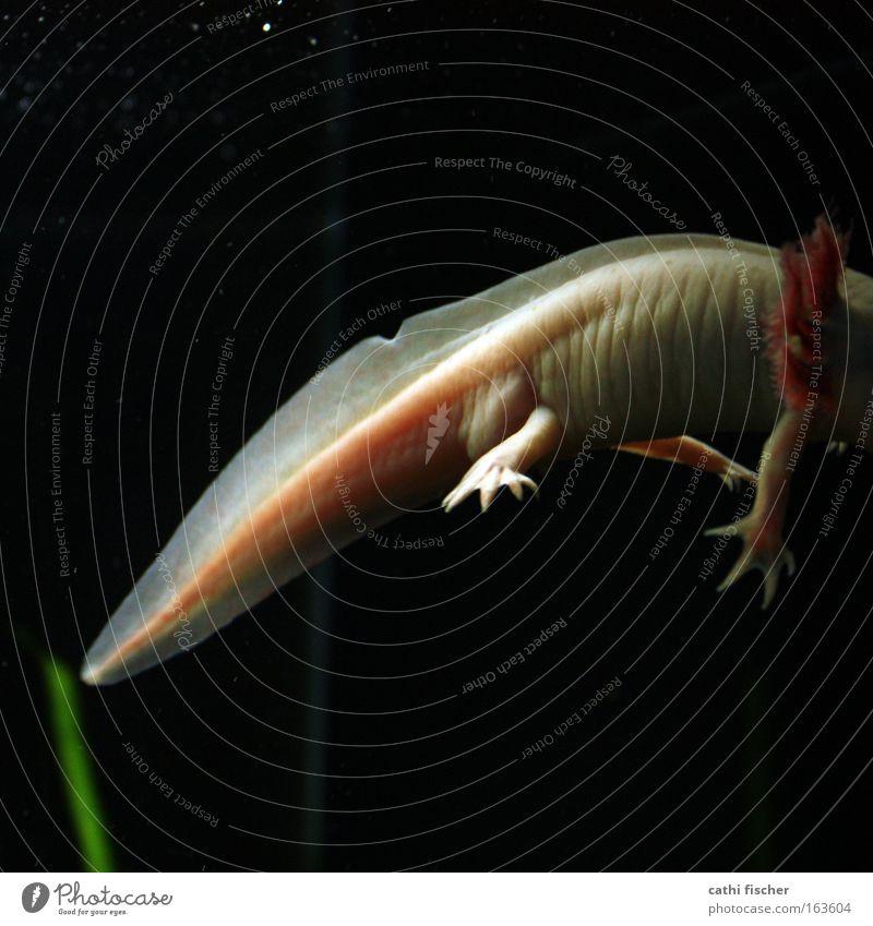 missing link Natur Wasser weiß grün schwarz Tier dunkel Unterwasseraufnahme rosa Fisch weich Zoo gruselig Wildtier