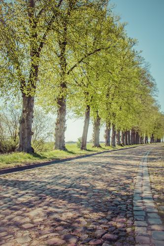 Bäume Allee Kopfsteinpflaster Strasse Himmel Natur blau Pflanze grün Sommer Baum Blatt Straße Frühling Wege & Pfade grau Verkehrswege