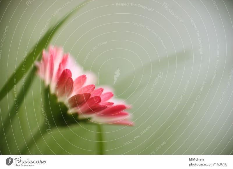 Gänse und Blümchen Blume grün Pflanze Wiese Blüte Frühling rosa Makroaufnahme Grünpflanze