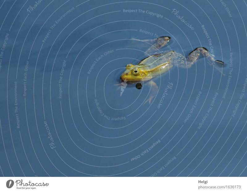 quak Umwelt Natur Tier Wasser Frühling Schönes Wetter Moor Sumpf Teich Wildtier Frosch 1 beobachten Blick Schwimmen & Baden einzigartig klein nass natürlich