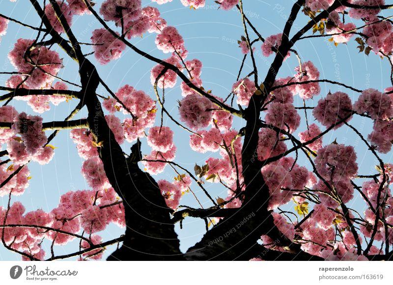 sakura Himmel Natur Baum schön Pflanze Blüte Frühling rosa einfach zart Japan Baumkrone exotisch Kirschblüten Fernost Zierkirsche