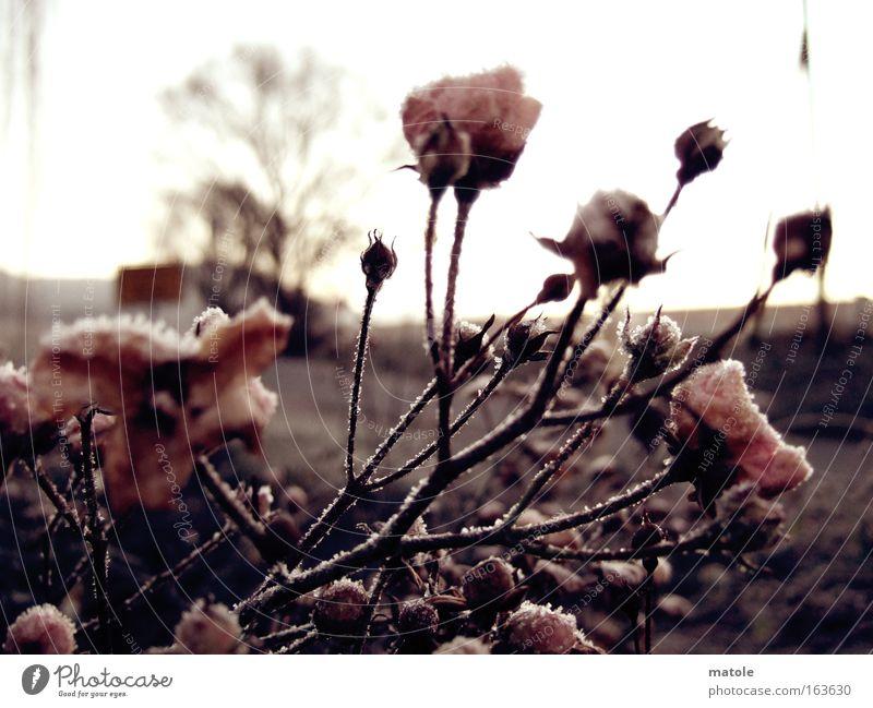rosen im frostmantel Nahaufnahme Detailaufnahme Textfreiraum oben Gegenlicht Garten Natur Pflanze Eis Frost Rose Blüte frieren kalt braun rosa Blütenknospen