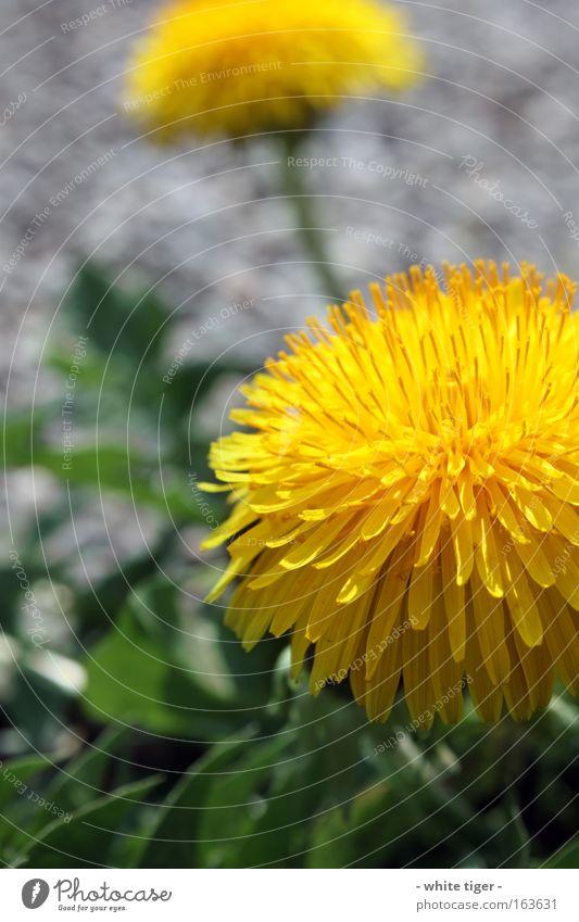 20.04.09 Pflanze Blume Blüte Wildpflanze gelb grau grün Löwenzahn Makroaufnahme Detailaufnahme Unschärfe Blütenblatt Farbfoto mehrfarbig Außenaufnahme