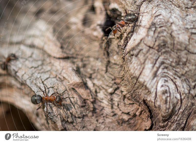 Begegnungen Natur Tier Wald Wildtier Ameise 2 krabbeln klein braun rot schwarz Waldameise Farbfoto Außenaufnahme Makroaufnahme Menschenleer Tag