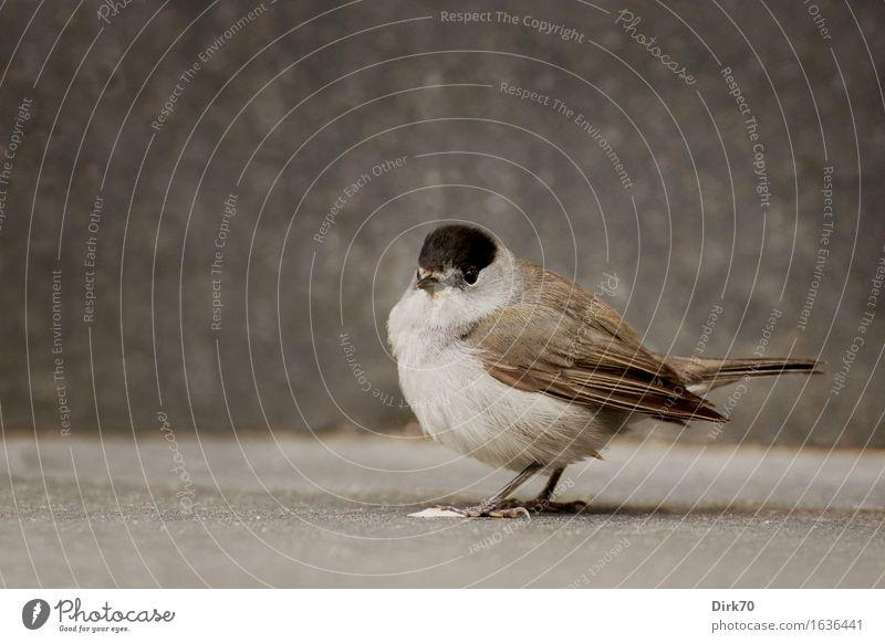 Piepmatzporträt Häusliches Leben Garten Umwelt Terrasse Tier Wildtier Vogel Singvögel Mönchsgrasmücke Grasmücke 1 Stein Beton Blick stehen dunkel kuschlig klein
