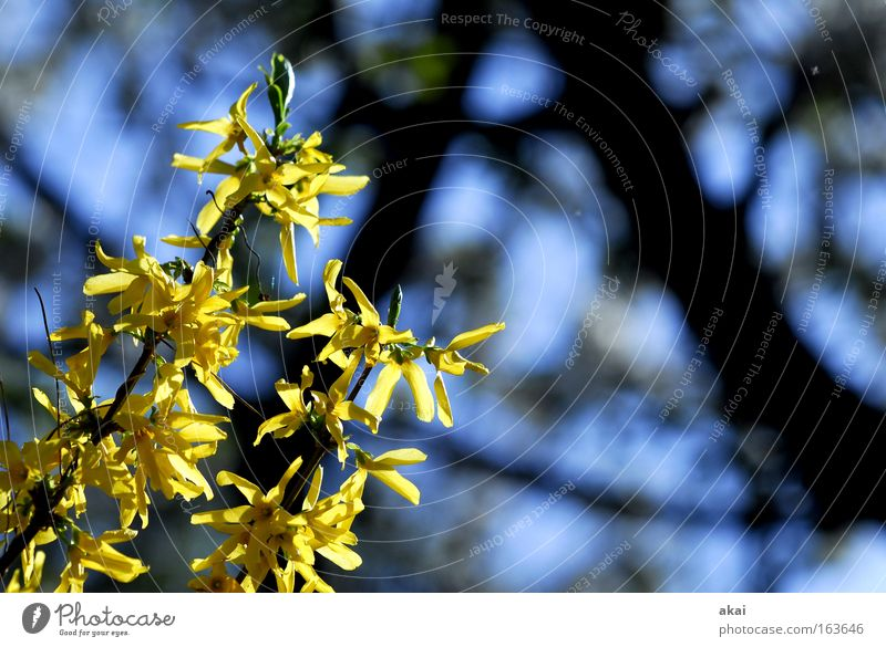 Frühling Baum blau schwarz gelb Hecke Sonnenaufgang Forsithie