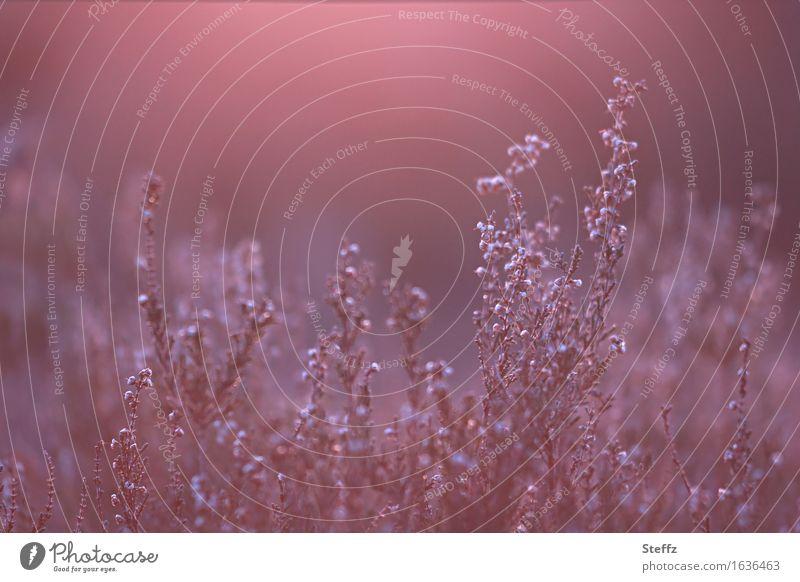 Flair Natur Pflanze schön Landschaft rot ruhig Stimmung rosa Sträucher mystisch Lichtschein verblüht Naturschutzgebiet Wildpflanze Heide