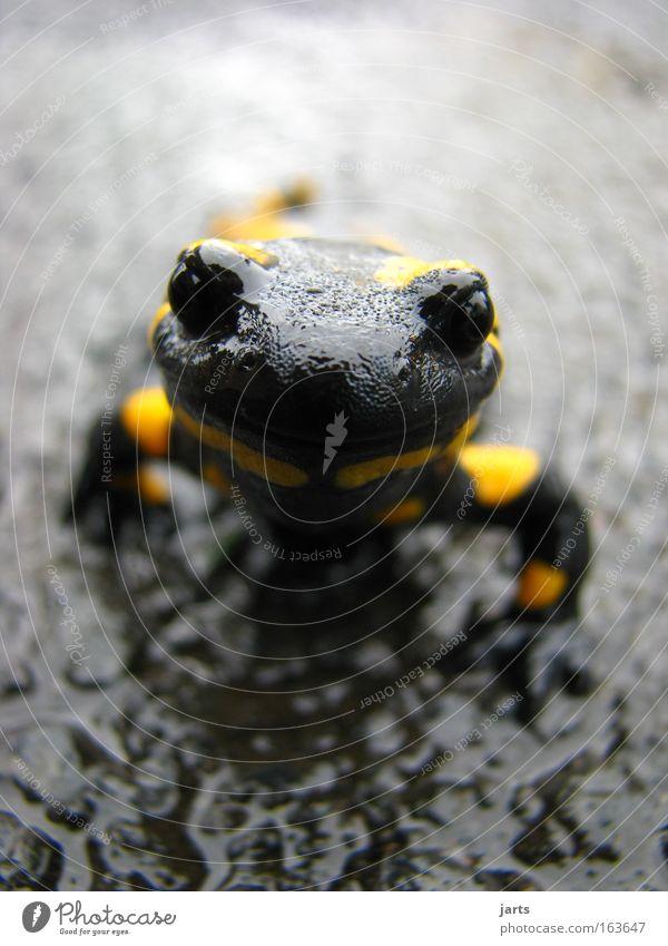 halloo schwarz Auge Tier gelb Straße Regen nass ästhetisch Tiergesicht Stolz Tapferkeit Salamander