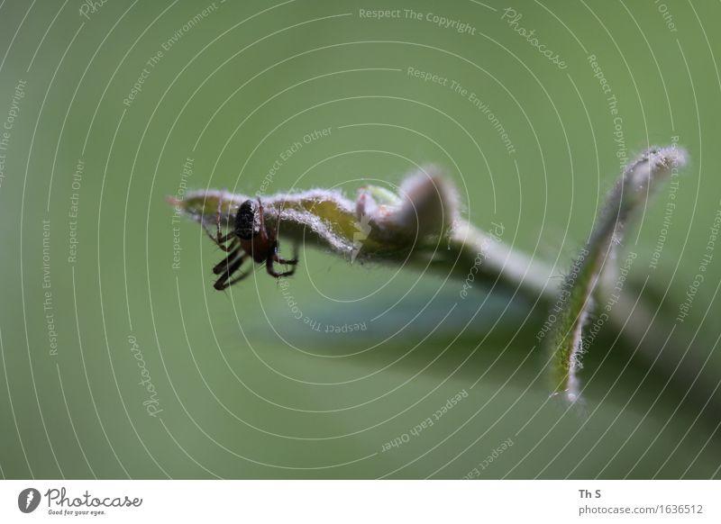 Spinne Natur Pflanze grün Sommer ruhig Tier Frühling natürlich braun elegant ästhetisch authentisch einzigartig einfach Gelassenheit Leichtigkeit
