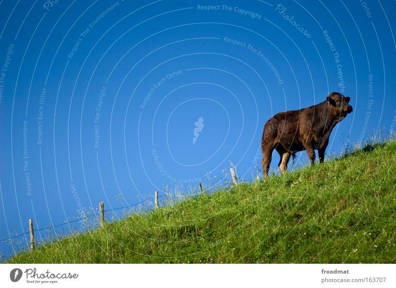 Kakaokuh Himmel blau grün Tier Umwelt Wiese Gras braun Zufriedenheit Kraft elegant ästhetisch stehen einzigartig beobachten Fell