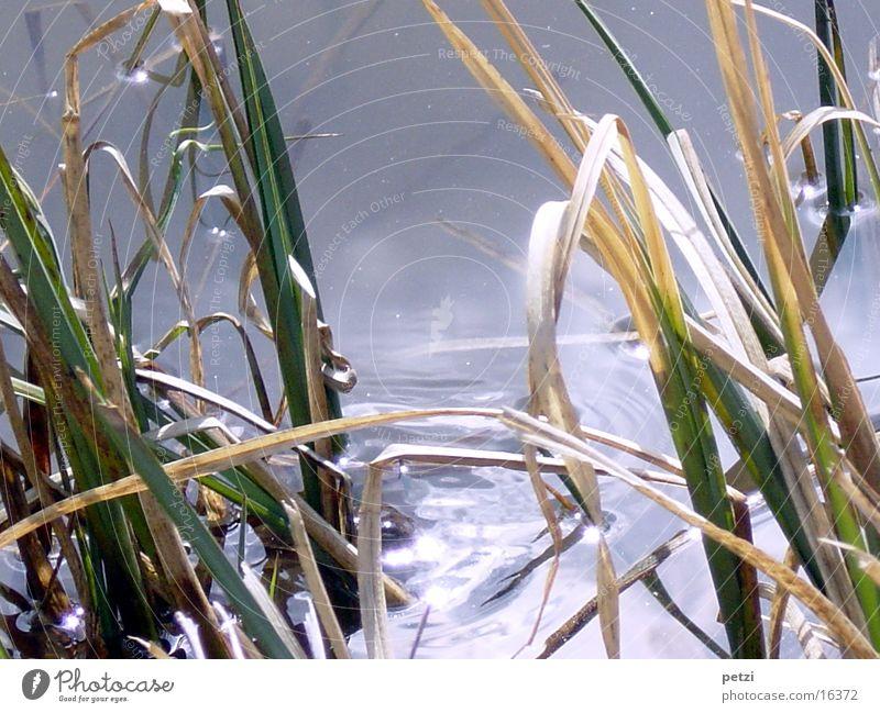 Schilfgras Wasser grün braun Teich Sonnenspiegelung