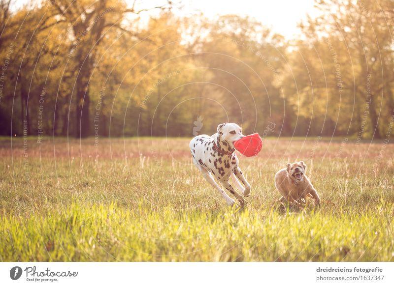 Hunde spielen und rennen durch die Gegend Natur Erde Sonne Sonnenaufgang Sonnenuntergang Sonnenlicht Frühling Sommer Garten Park Wiese Tier 2 Bewegung Spielen
