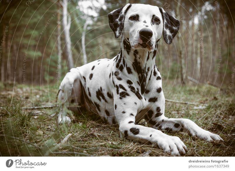 Dalmatiner sitzt im Wald Umwelt Natur Erde Frühling Sommer Herbst Tier Hund sitzen warten ästhetisch Coolness elegant Freundlichkeit einzigartig schön