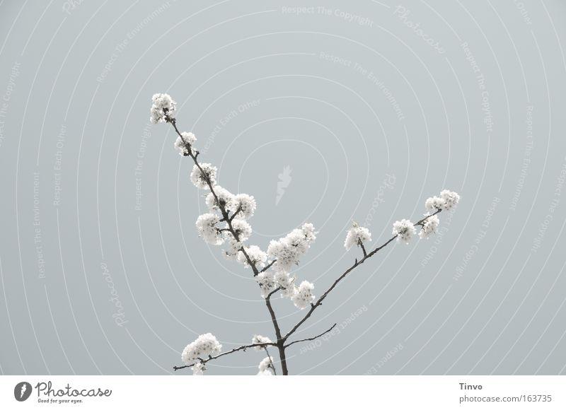 blossom Gedeckte Farben Außenaufnahme Textfreiraum links Textfreiraum oben Tag Blick nach oben Pflanze Frühling Blüte grau weiß Natur Kirschblüten Zweig zart