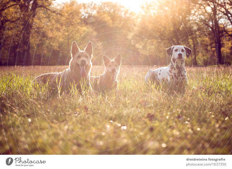 Hunde im Sommer bei Sonnenuntergang Natur Landschaft Erde Sonnenaufgang Sonnenlicht Frühling Park Wiese Tier 3 sitzen warten ästhetisch elegant Erfolg
