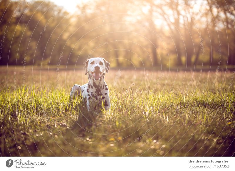 Dalmatiner im Sommer bei Sonnenuntergang Umwelt Natur Landschaft Erde Sonnenaufgang Sonnenlicht Frühling Schönes Wetter Tier Hund sitzen warten außergewöhnlich