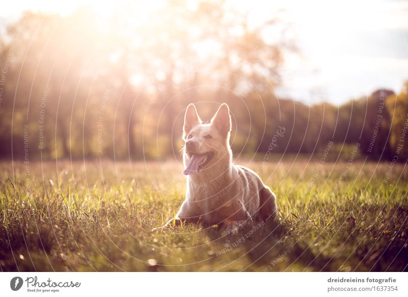 Husky im Sommer bei Sonnenuntergang im Park Umwelt Natur Landschaft Sonnenaufgang Sonnenlicht Frühling Schönes Wetter Tier Hund sitzen warten elegant
