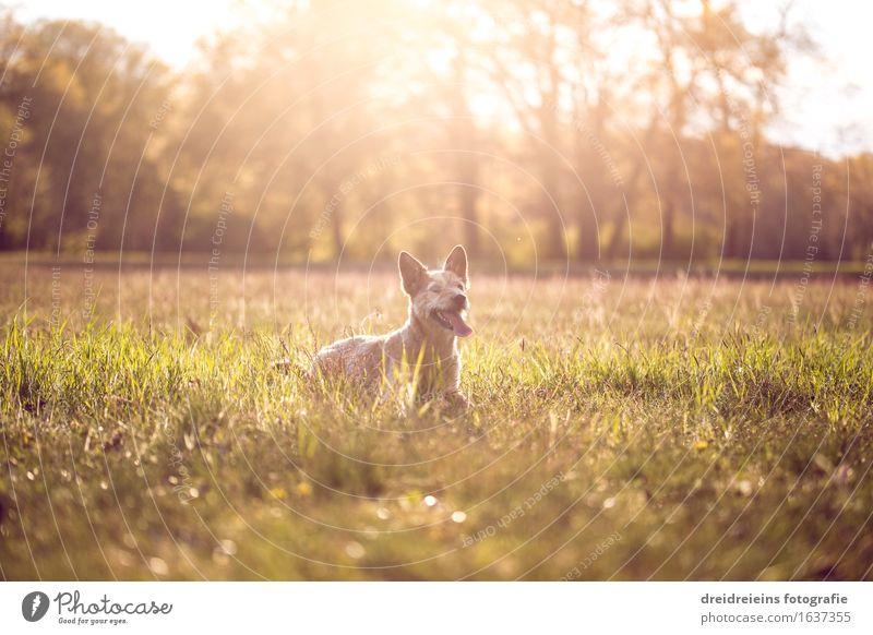 Jack Russell Terrier im Sommer bei Sonnenuntergang Natur Landschaft Sonnenaufgang Sonnenlicht Frühling Schönes Wetter Wärme Garten Park Wiese Tier Hund sitzen