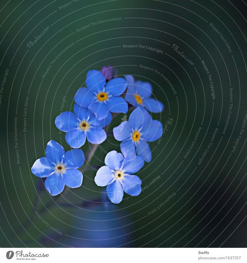 zartblaues Vergissmeinnicht Vergißmeinnicht Vergißmeinnichtblüte heimisch blaue Blüten blaue Blumen dezente Blüten dezente Blumen heimische Wildpflanzen
