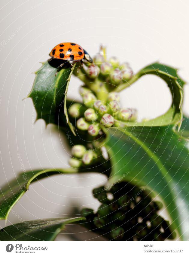 Mariechenkäfer Natur Blume Pflanze Tier Farbe Blüte Frühling Glück Religion & Glaube Sträucher einzigartig Lebensfreude Wildtier Schönes Wetter Käfer