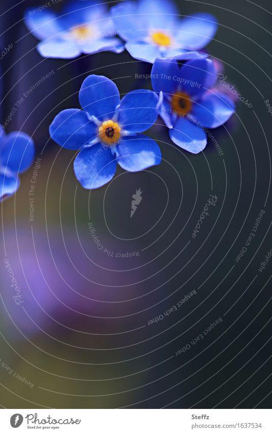 blaue Romantik Natur Pflanze schön Blume Frühling Blüte Garten Textfreiraum Blütenblatt Mai April Frühlingsblume Vergißmeinnicht Gartenpflanzen