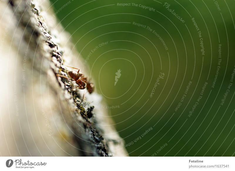 Ameisendate Umwelt Natur Pflanze Tier 2 klein nah natürlich grün Baumrinde krabbeln Insekt Farbfoto mehrfarbig Außenaufnahme Nahaufnahme Makroaufnahme