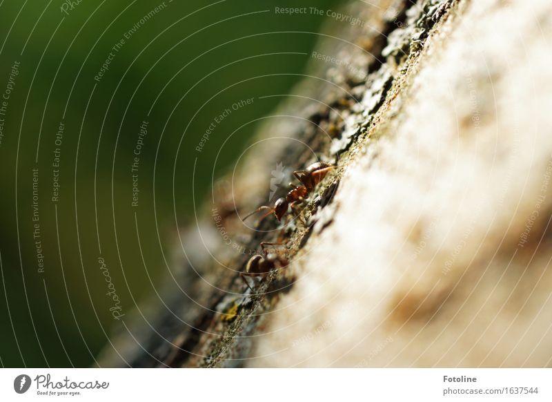 Das große Krabbeln Umwelt Natur Pflanze Tier Erde Baum klein nah natürlich Ameise krabbeln Baumrinde Fühler Insekt Farbfoto mehrfarbig Außenaufnahme Nahaufnahme