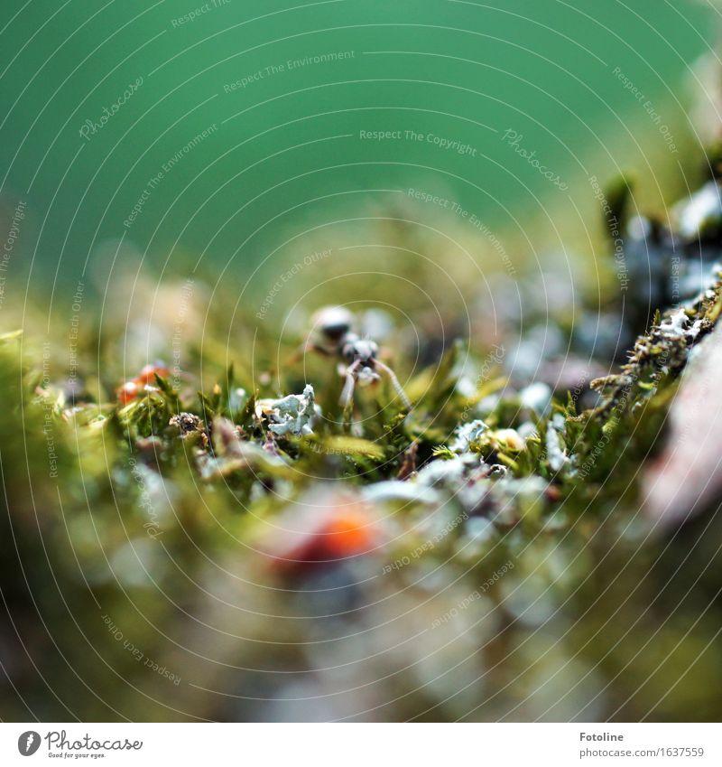 Ameise Umwelt Natur Pflanze Tier Moos klein nah natürlich grün krabbeln Insekt Farbfoto mehrfarbig Außenaufnahme Nahaufnahme Detailaufnahme Makroaufnahme